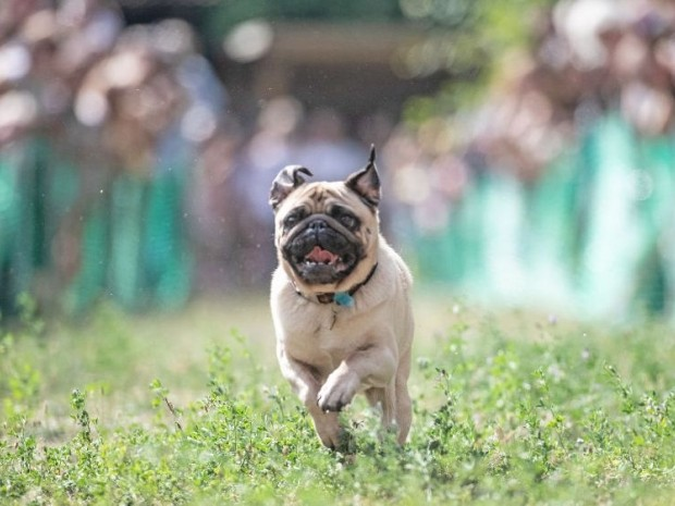 Emma the pug won her third race